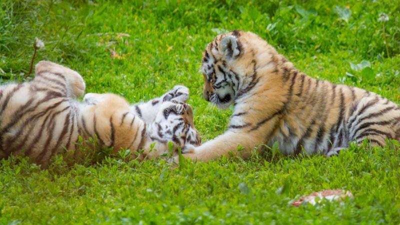 Zoo søger tømrer til tigerburet